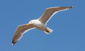 Flying_Seagull_by_ksouth