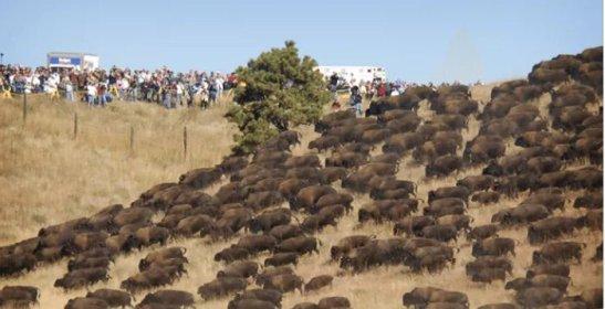 buffalo at Standing Rock.jpeg
