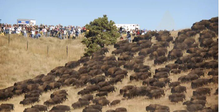 buffalo at Standing Rock.jpeg